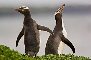 新西兰南岛-黄眼企鹅保护区 (Yellow-Eyed Penguin Conservation Re