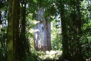 新西兰北岛-怀波阿森林区 (Waipoua Forest)
