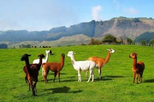 新西兰北岛-爱歌顿皇家牧场观光之旅(Agrodome farm)