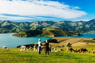 新西兰南岛-莎玛拉羊驼牧场