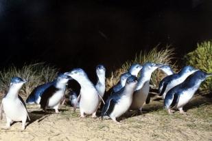 新西兰南岛-奥马鲁蓝企鹅(Self-Guided Day Tour)