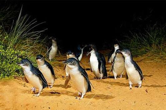 新西兰南岛-奥马鲁蓝企鹅夜间