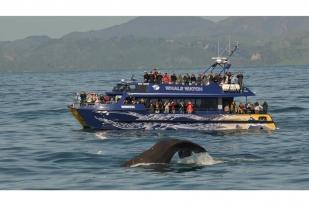 新西兰南岛-凯库拉观鲸之旅(Whale Watch Tour)